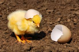 Chickhatch